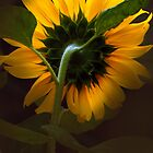 Sunflower5. by Baska