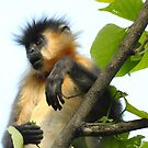 India - Capped Langur by Marieseyes