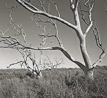 ghost trees by Tony Kearney