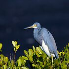 Egretta tricolored, louisiana heron, tricolored heron by Arto Hakola