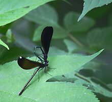 Iridescent blue black dragonfly by Linda Costello Hinchey