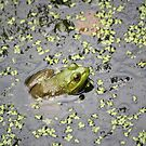 American Bullfrog study 1 by Linda Costello Hinchey