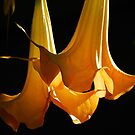 Datura by Ron Hannah