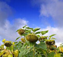 Burgundy sunflower. by Victor Pugatschew
