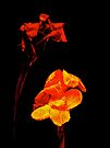 Canna Lilies on Black by MotherNature