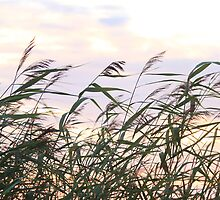 Reeds in the wind by MistyIslet
