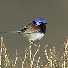 Variegated Fairywren - Lake Bindegolly, July 2010 by Rob Drummond