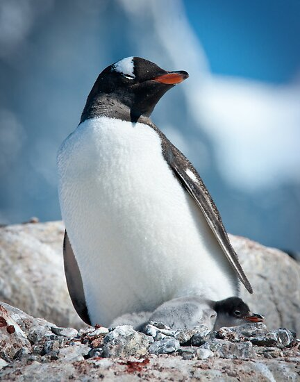 Gentoo Penguin with 2 chicks, Antarctica by Neville Jones