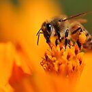 Honey Bee by Dennis Stewart