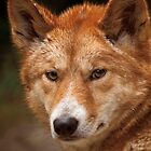 Wild Faces: Dingo by Christopher Ashdown