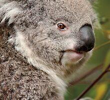 Wild Faces: Koala by Christopher Ashdown