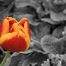 Red And Yellow On Black And White. by vistaviola