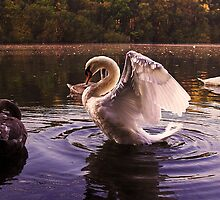 Morning Swans by Doug McRae