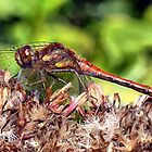 Red-veined Darter (Sympetrum fonscolombii) by Clive