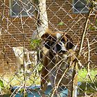 Brown and white Saint Bernard dog watching from behind chain link fence by MeMeBev