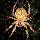 Garden Cross Spider (Araneus diadematus) by Michaela1991
