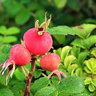 Dog Rose Pods by GlennB