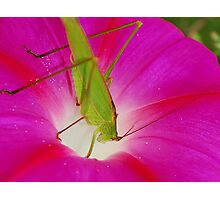 cricket with flower Photographic Print