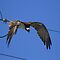 Osprey&#x27;s Wire Drop by DARRIN ALDRIDGE