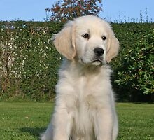 Golden Retriever Sallie 2 months old by Trine