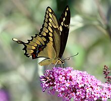 Butterfly Calendar by DARRIN ALDRIDGE