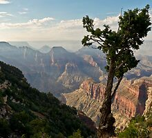 Stunted pine, North Rim, Grand Canyon by Gary Eason + Flight Artworks