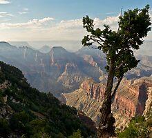 Stunted pine, North Rim, Grand Canyon by Gary Eason + Flight Artworks