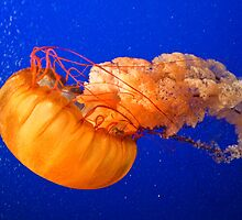 Canada. Vancouver, BC. Aquarium. Jellyfish. by vadim19