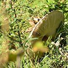 Macrolepiota procera (Grote Parasolzwam / Parasol Mushroom) by Jacqueline van Zetten