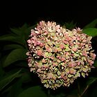 Hydrangea at Night by virginian