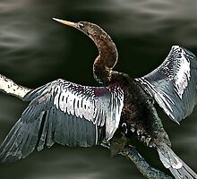 Anhinga by George  Link