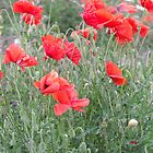 Poppies in the wind! by epgaskell