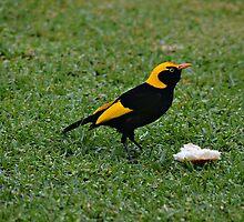 Regent Bower Bird by odarkeone