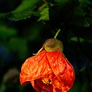 Orange Drop by AlMiller
