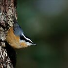 Red-breasted Nuthatch by DJ LeMay
