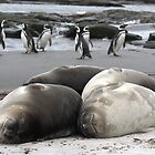 Gentoo Pengiuns and Young Elephant Seals by Doul
