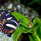 Heliconius atthis by Arto Hakola