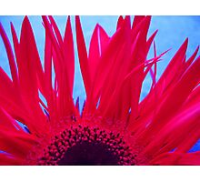 Red Fanned Gerbera Photographic Print