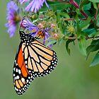 Monarch Butterfly on Aster by (Tallow) Dave  Van de Laar