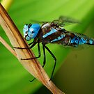 Blue-eyed Darner by loiteke