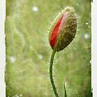 Shy Poppy  by Sarah Couzens