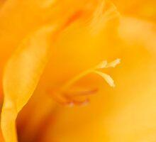 Gladiolus by Mihaela Limberea