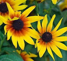 Black-eyed Susan by Ivo Velinov