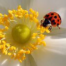 Ladybird on Anemone by John Morrison