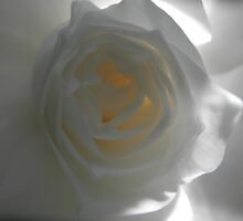 Trapped Sunlight, White Camellia, Tumut, Australia. by kaysharp