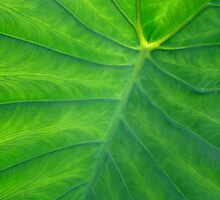 Elephant Ears  - Colocasia by MotherNature
