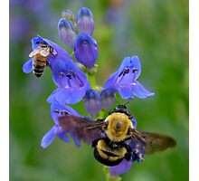 Bumble Bee and Honey Bee Photographic Print