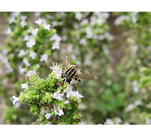 Hover fly on herbs Photographic Print