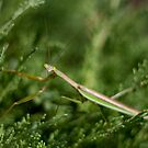 Praying Mantis by albino
