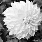 Dahlia in black and white by David  Barker